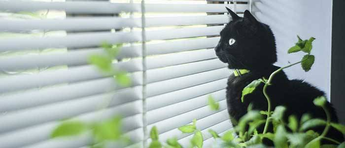 black cat looking out of white venetian blinds